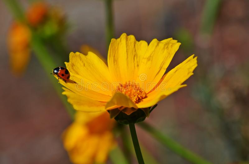 Ladybird na kwiacie zdjęcia stock