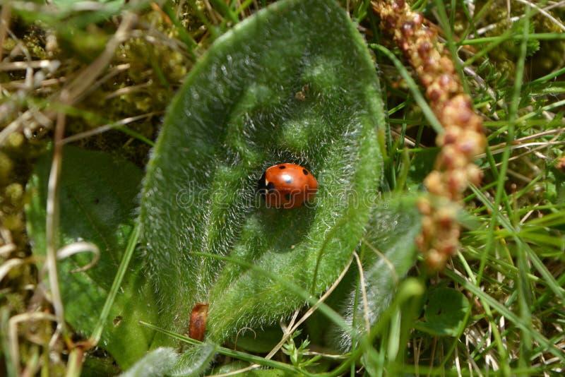 Ladybird na leavе Wiosna w Ryskim obraz stock
