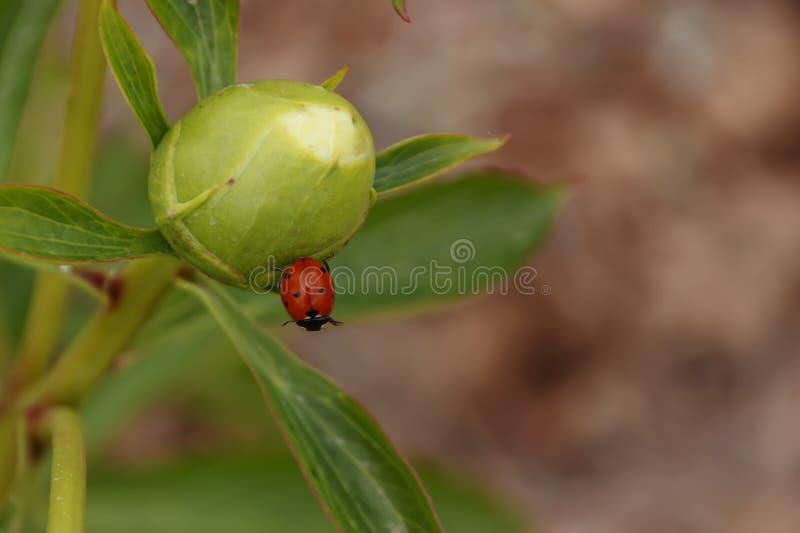 Ladybird na peonia pączka zbliżeniu obrazy stock