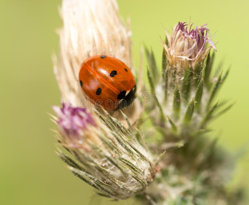 Ladybird on nature. macro royalty free stock images