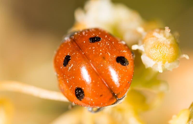 Ladybird on nature. macro stock photography