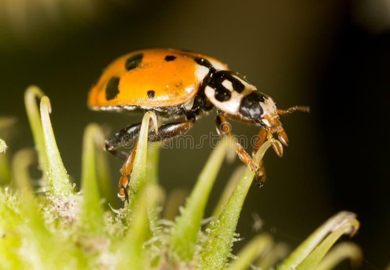 Ladybird on nature. macro stock image