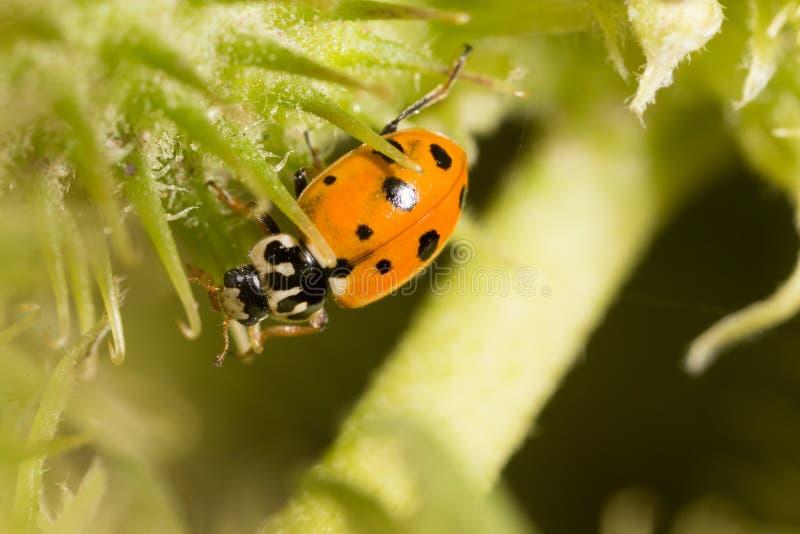 Ladybird on nature. macro stock photos