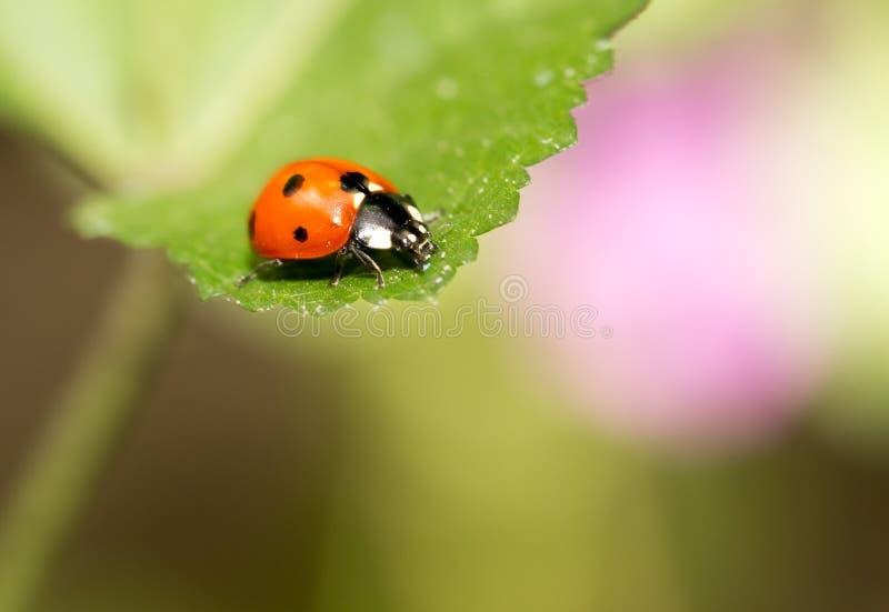 Ladybird on nature. macro royalty free stock photography