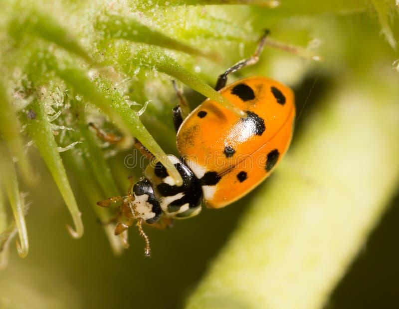 Ladybird on nature. macro stock photo