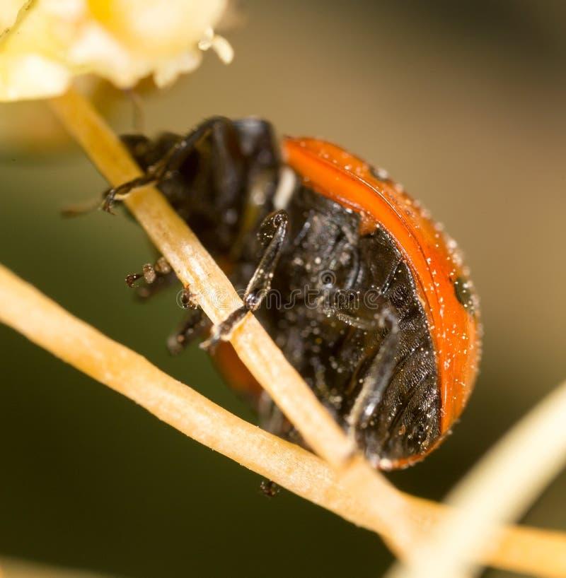 Ladybird on nature. macro royalty free stock photo