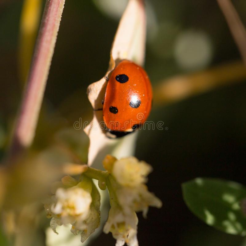 Ladybird on nature royalty free stock images