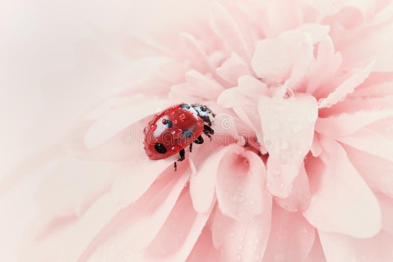 Ladybird o coccinella nelle gocce di acqua su un fiore rosa fotografie stock