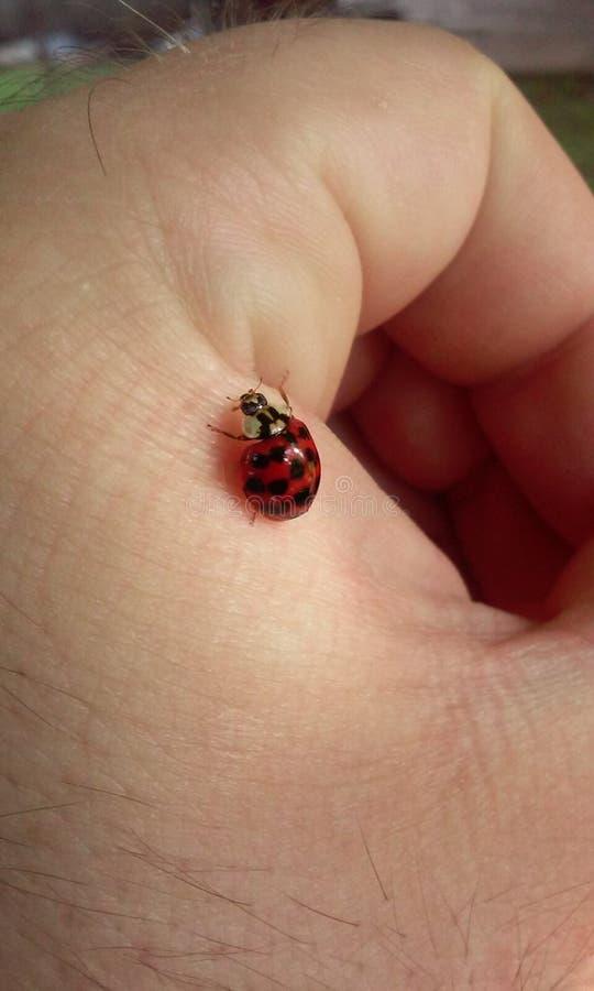 Download Ladybird stock image. Image of picture, ladybird, hand - 83717233