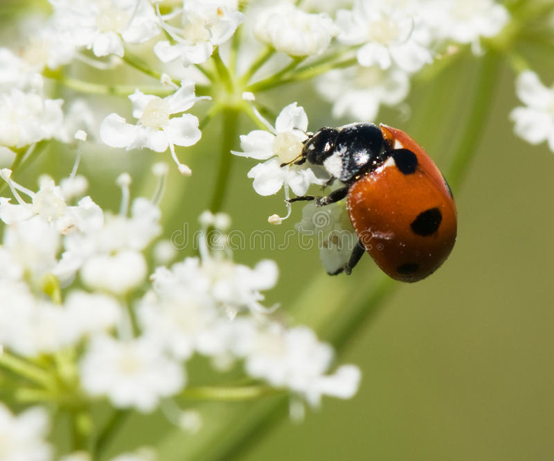 Download Ladybird In Pollen Royalty Free Stock Photography - Image: 12666897