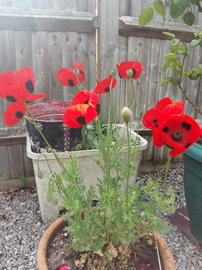 Ladybird poppies stock image