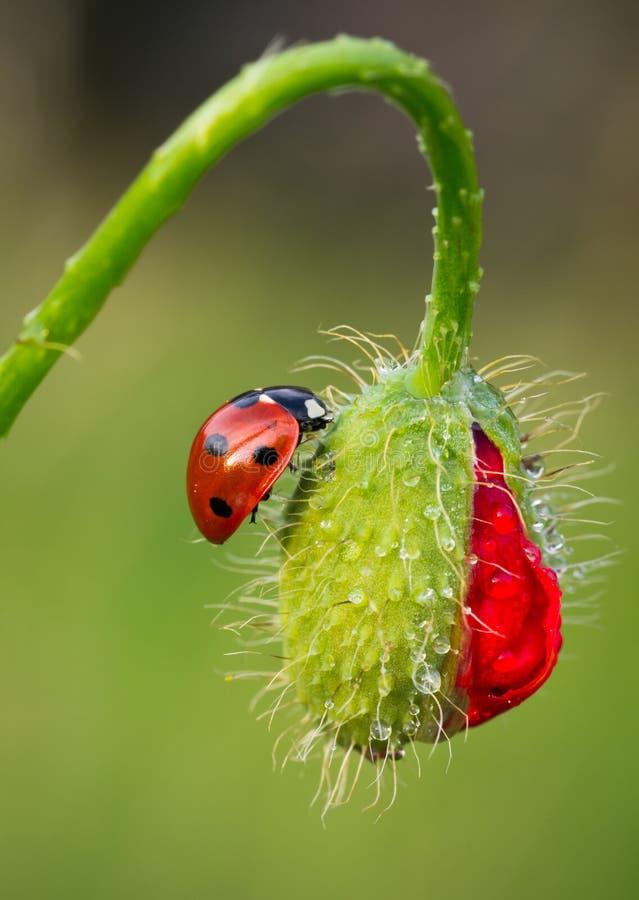Ladybird on Poppy bud royalty free stock photo