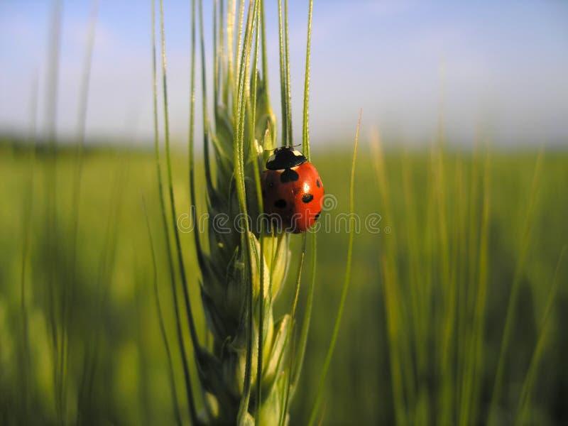 ladybird pszenicy fotografia stock