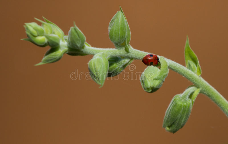 ladybird roślinnych obrazy royalty free