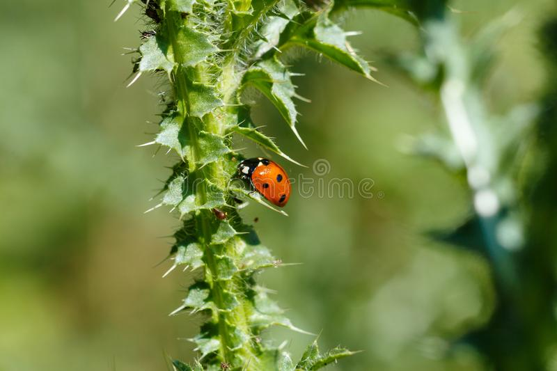 The Ladybird sits on a colored leaf. Macro photo of ladybug close-up. Coccinellidae stock photos