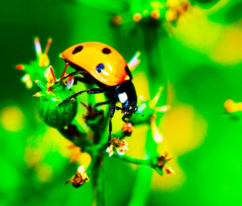 A ladybird sits on a green grass. Ladybird sits on a green grass stock photos