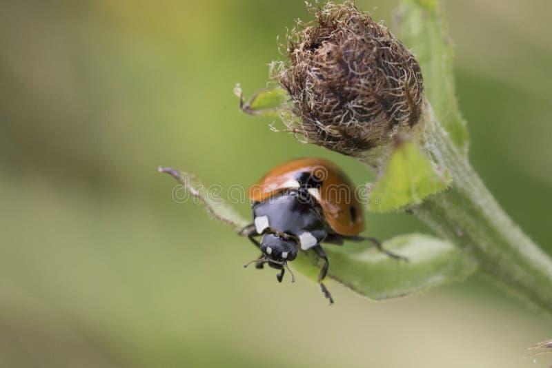 ladybird 7-spot на лист стоковое изображение rf