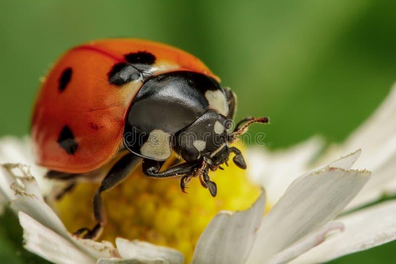 Ladybird 7-spot стоковое изображение rf