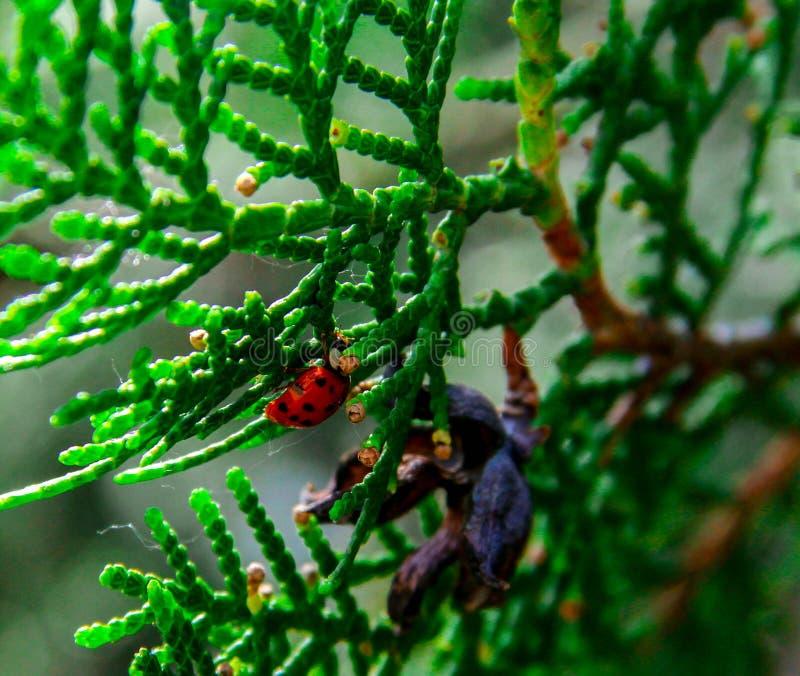 Ladybird su un fogliame fotografia stock