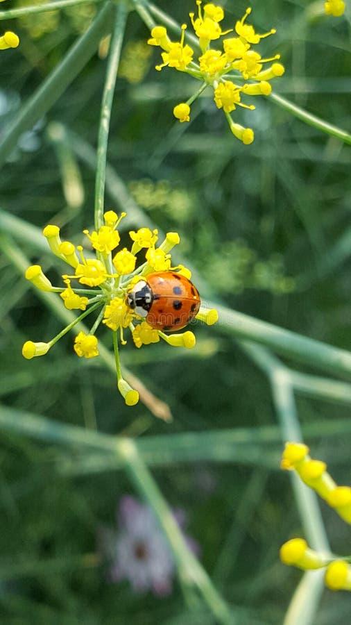 Ladybird sul piccolo fiore fotografia stock libera da diritti