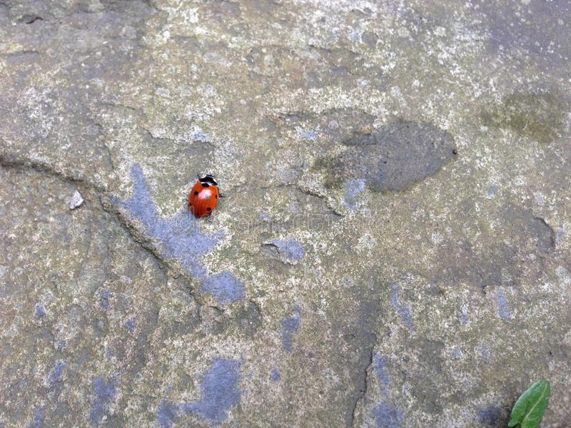 Ladybird sulla pietra fotografia stock