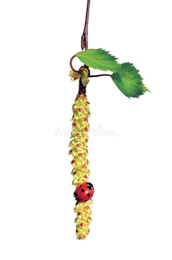 Ladybird sur la brindille, la coccinelle et le Betula pendula de chaton d'arbre de bouleau photographie stock