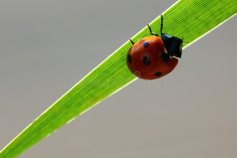 Ladybird sur la feuille tubulaire diagonale images stock
