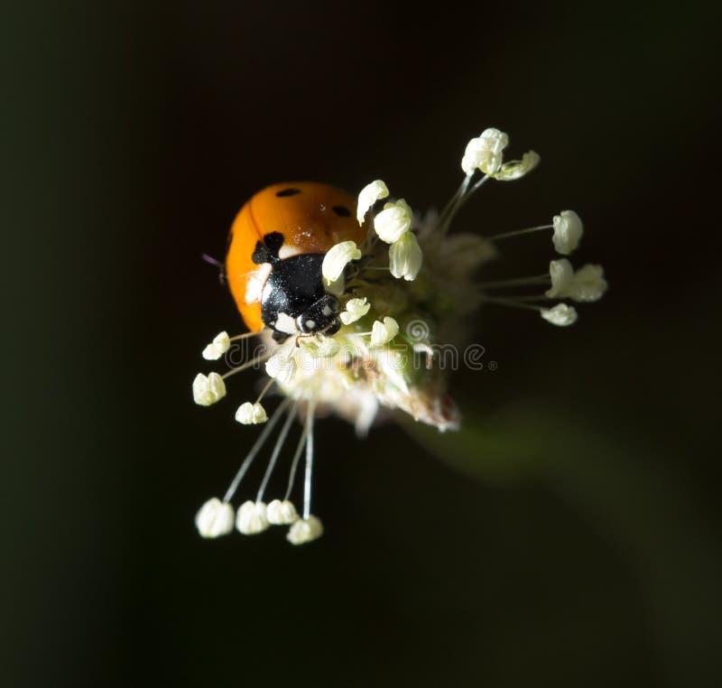 Ladybird sur la nature Macro photos libres de droits