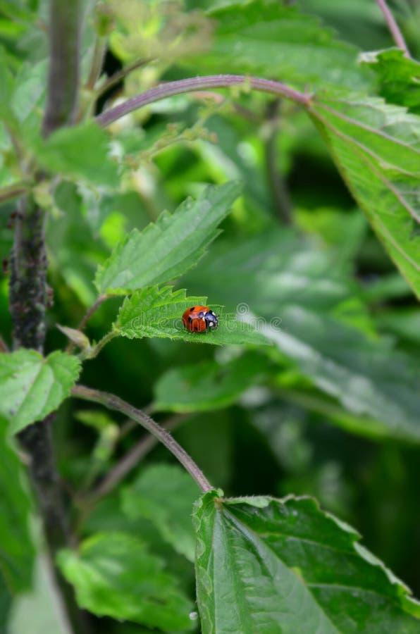 Ladybird sur une ortie photographie stock