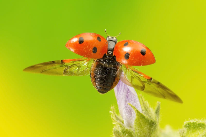 Ladybird taking flight. A high magnification macro shot of the cute insect, that is often portrayed as a gentle one, when in fact it is a predator feeding mainly royalty free stock photo