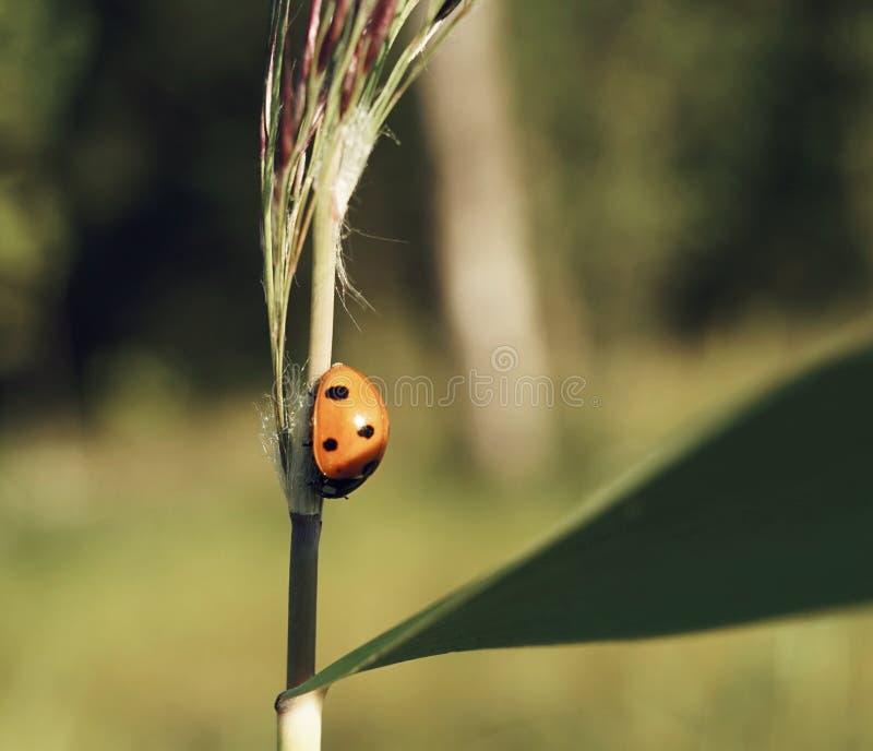 ladybird zakończenia rośliny trawy światła słonecznego bokeh tło plenerowy fotografia royalty free