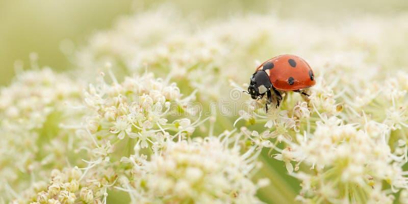 Ladybird zbiera nektar od białego puszystego kwiatu zdjęcia stock