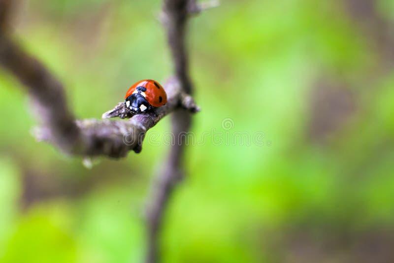 Ladybird zbliżenie na liściu Selekcyjna ostrość obraz stock