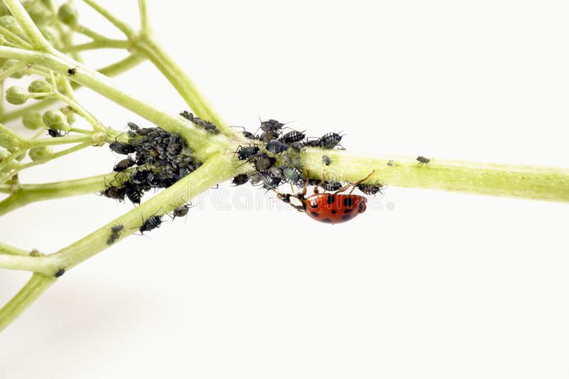 Ladybirdr (Coccinellidae) and aphids (Sternorrhyncha) on elderflower stem (Sambucus nigra) royalty free stock image