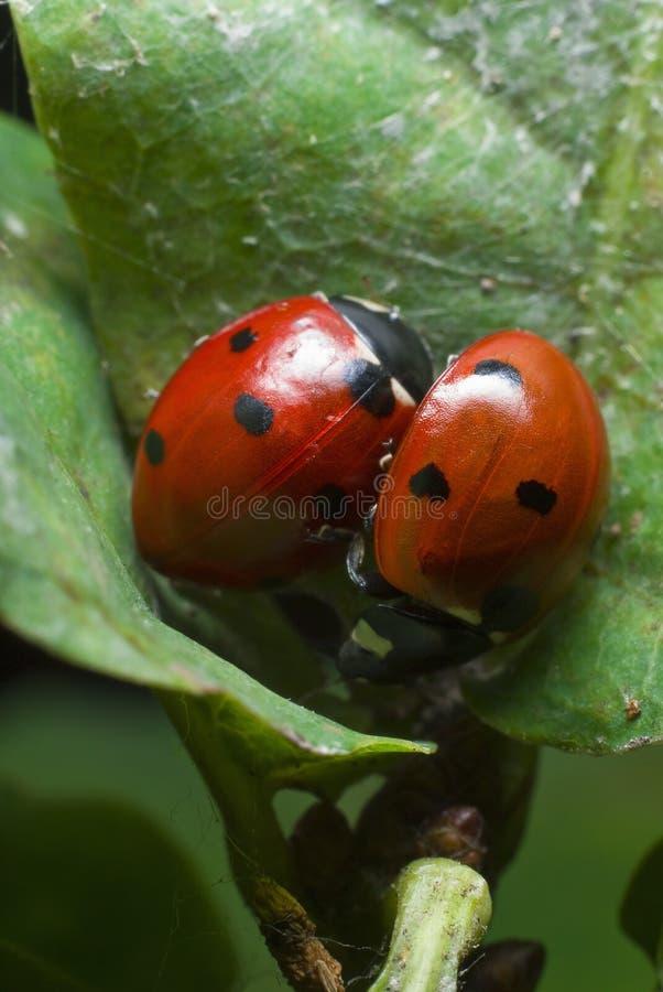 ladybirds zdjęcia royalty free