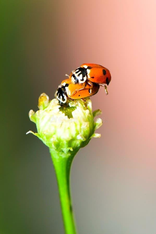 Download Ladybirds stock image. Image of activity, macro, couple - 15587707