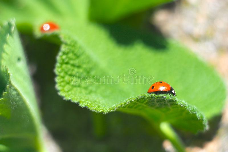 ladybirds obrazy stock