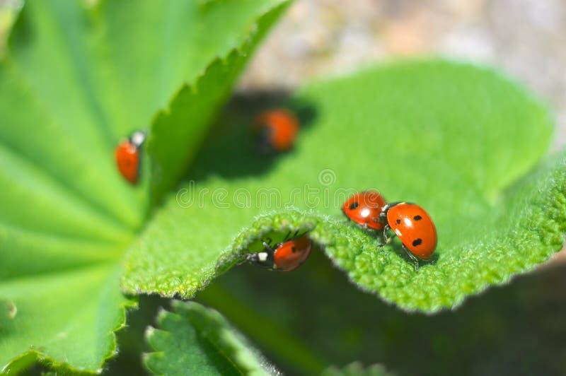 ladybirds стоковое фото