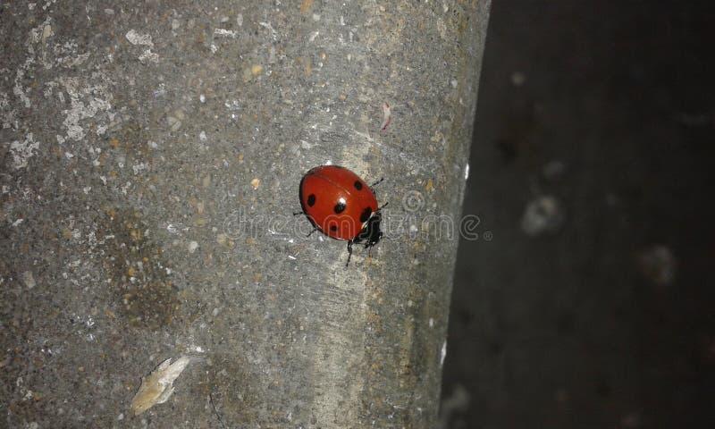 ladybirds stockbild