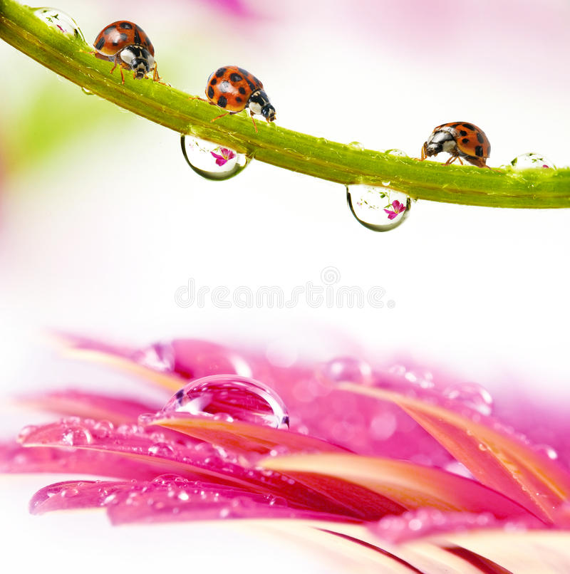 Ladybirds and dewy flower. Three ladybirds and pink dewy flower stock photo