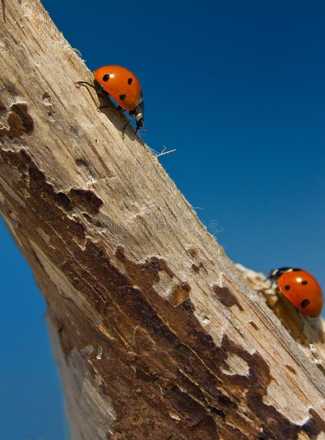 ladybirds dwa zdjęcie stock