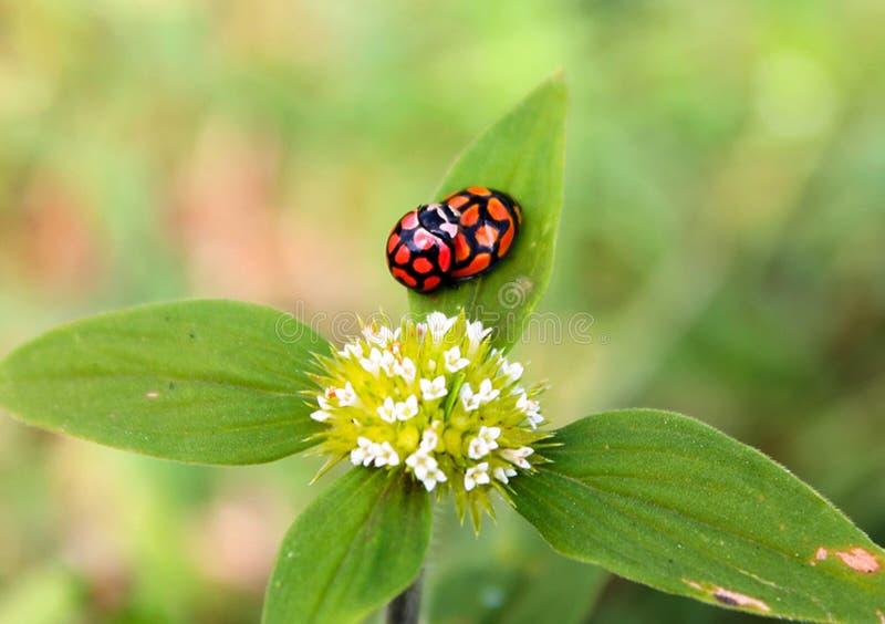 Ladybirds matuje na roślinie fotografia stock