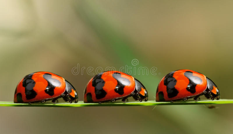 Ladybirds on a queue stock image