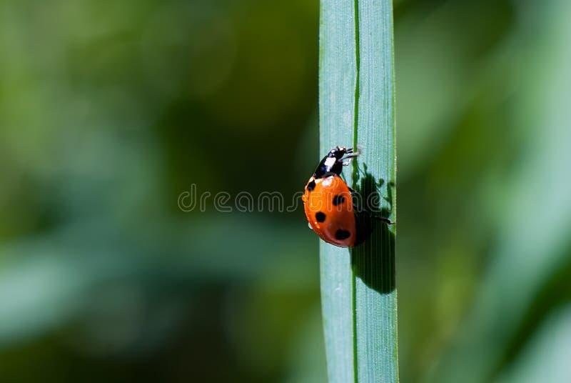 Ladybug взбирается травинка вверх на зеленой предпосылке, бросает тень стоковая фотография rf