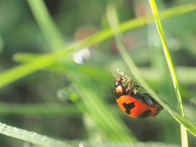 Ladybug на стеклянном backgrounf нерезкости whit стоковое фото rf