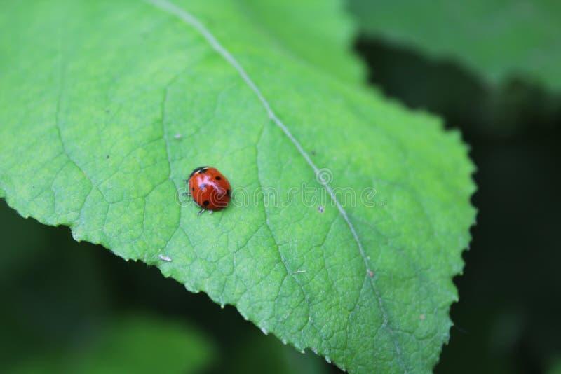 Ladybug, λαμπρίτσα στοκ φωτογραφία