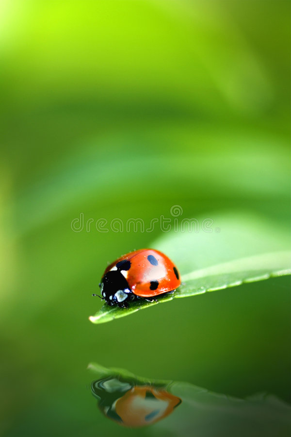 ladybug αντανάκλαση στοκ φωτογραφία με δικαίωμα ελεύθερης χρήσης