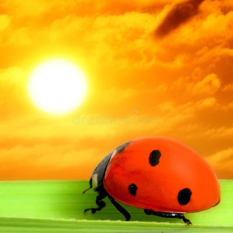 ladybug δείτε το ηλιοβασίλεμ&alph στοκ φωτογραφίες
