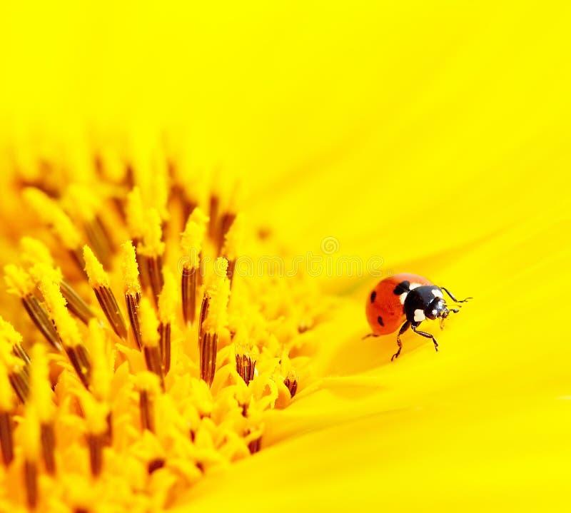 ladybug ηλίανθος συνεδρίασης στοκ εικόνες