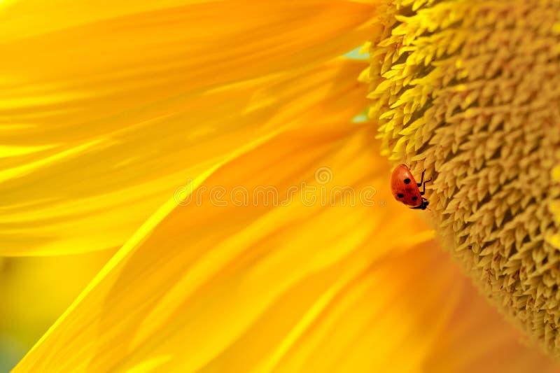 ladybug ηλίανθος στοκ εικόνες